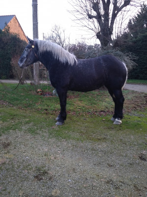 FALINKA - trait percheron